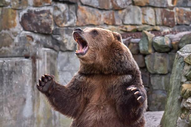 ours brun (ursus arctos). zoo - ours photos et images de collection