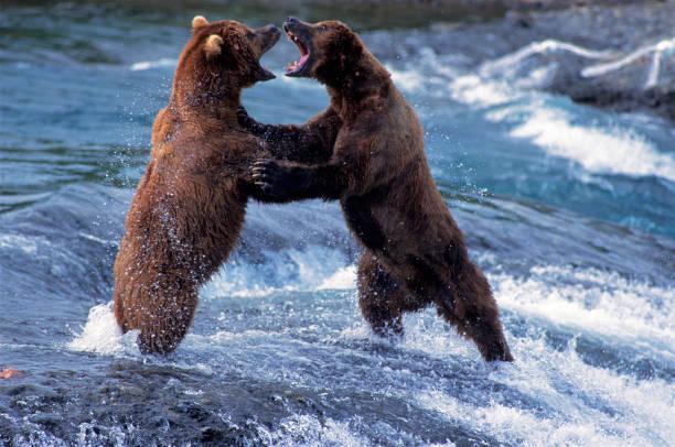 Brown Bears Fighting stock photo