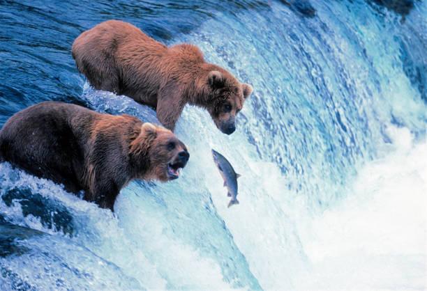 Brown Bears Fishing stock photo