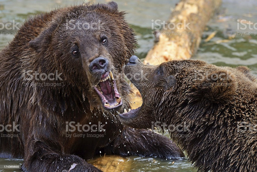 Brown bears in the Carpathians. stock photo