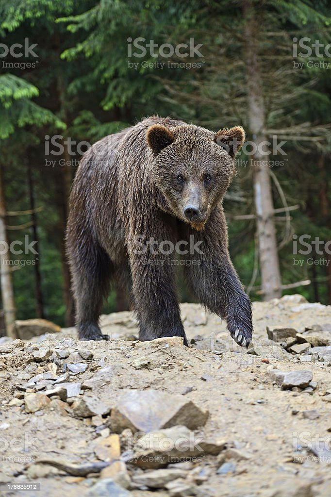 Brown bears in the Carpathians. royalty-free stock photo