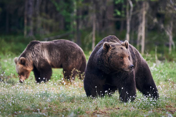 Brown bears (Ursus arctos) in the forest stock photo
