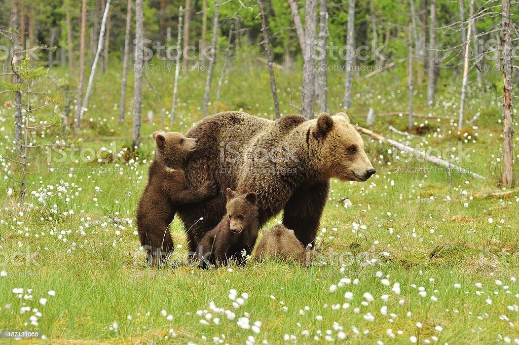 Brown Bears royalty-free stock photo