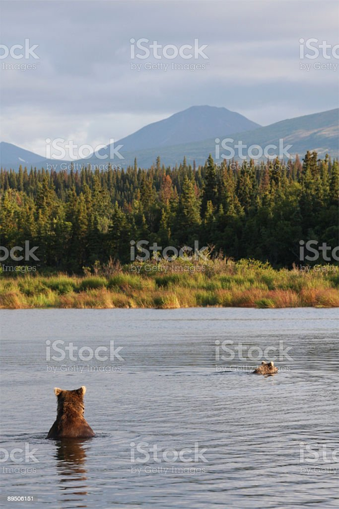Brown bears swimming stock photo