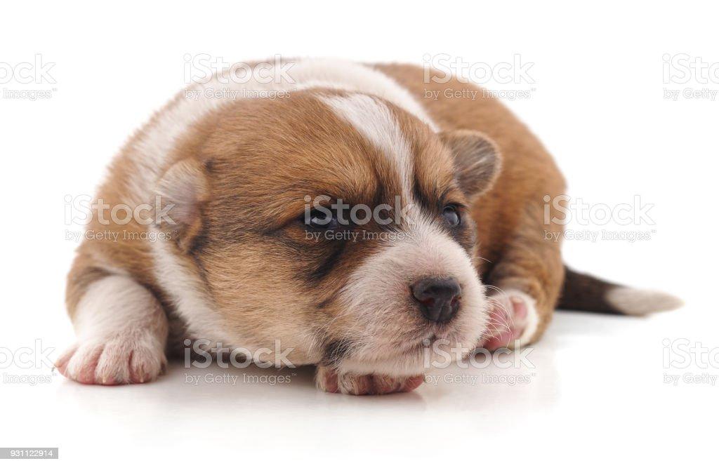 Kahverengi güzel yavru köpekti. - Royalty-free Av Köpeği - Safkan Köpek Stok görsel