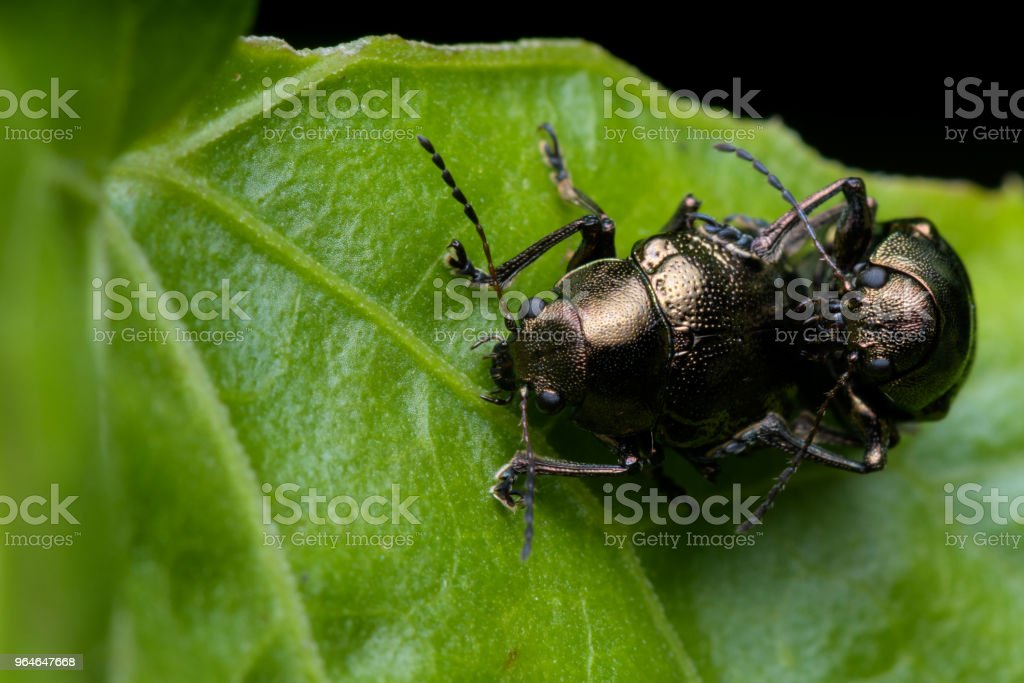 Brown Beetle royalty-free stock photo