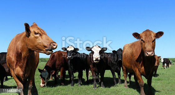 Herd of variety of breeds of curious beef cows in the meadow on a sunny spring day with clear blue sky
