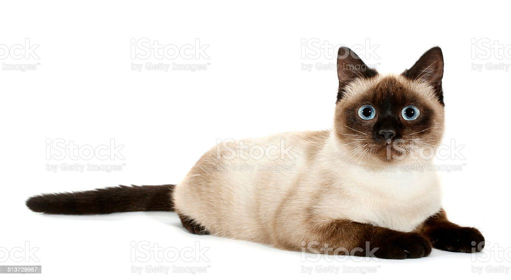 Brown beige cat with blue eyes lies down stock photo