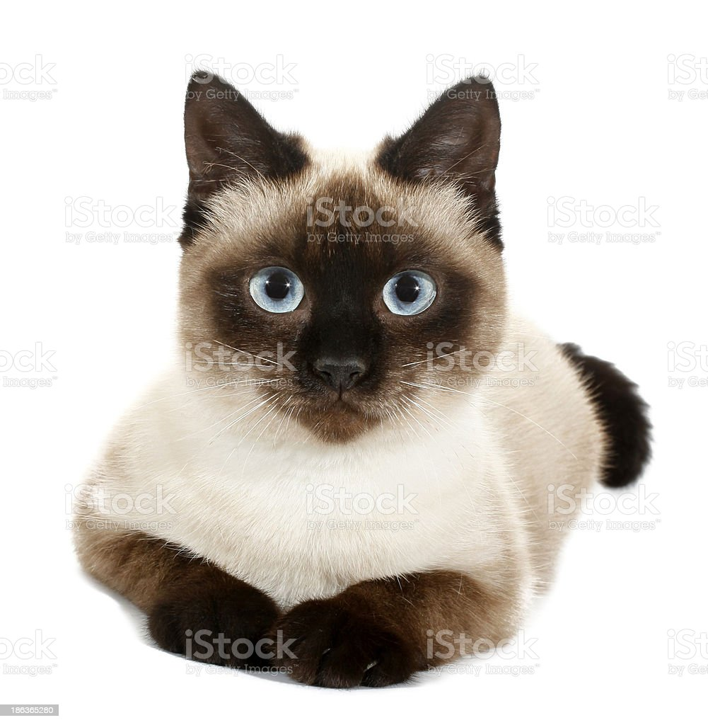 Brown beige cat with blue eyes stock photo