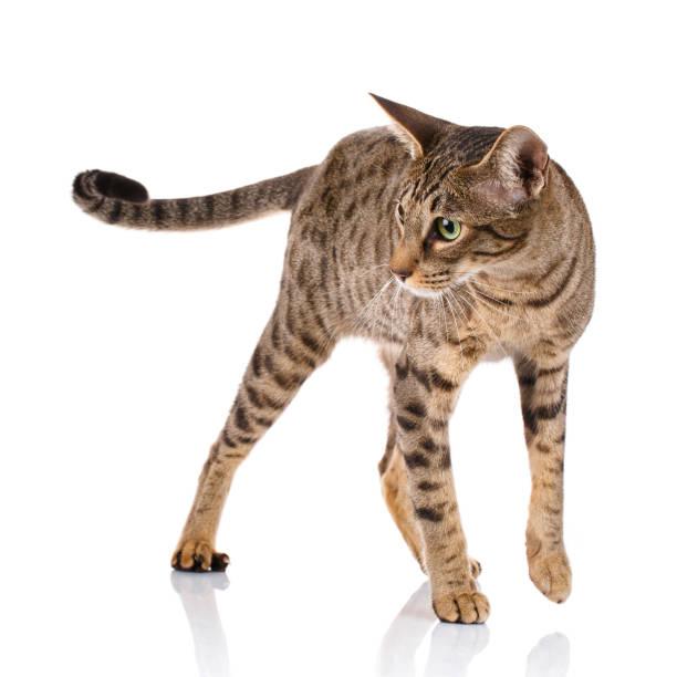 brown bicolor cat on a white background - ocicat foto e immagini stock