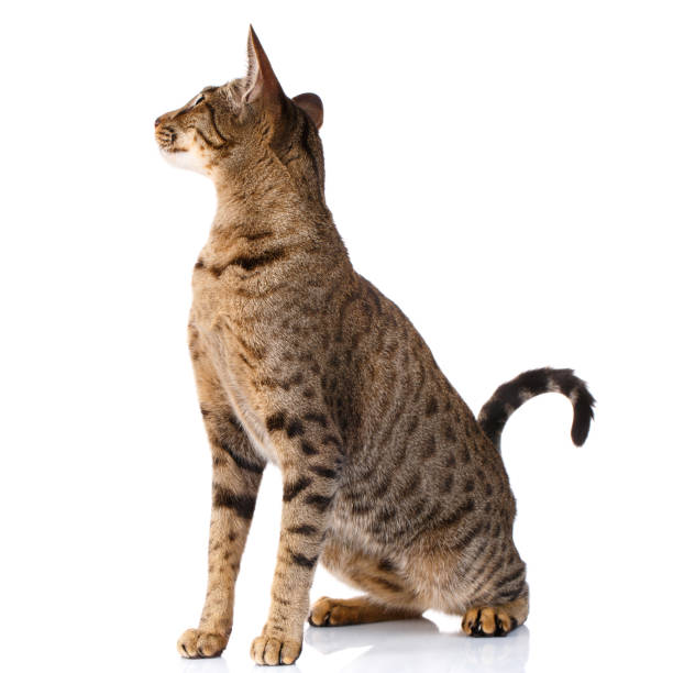 brown bicolor cat on a white background. sitting and looking back - ocicat foto e immagini stock