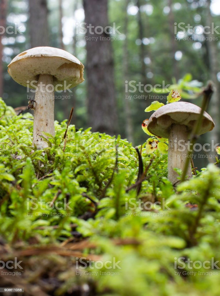 Brown birch boletes stock photo