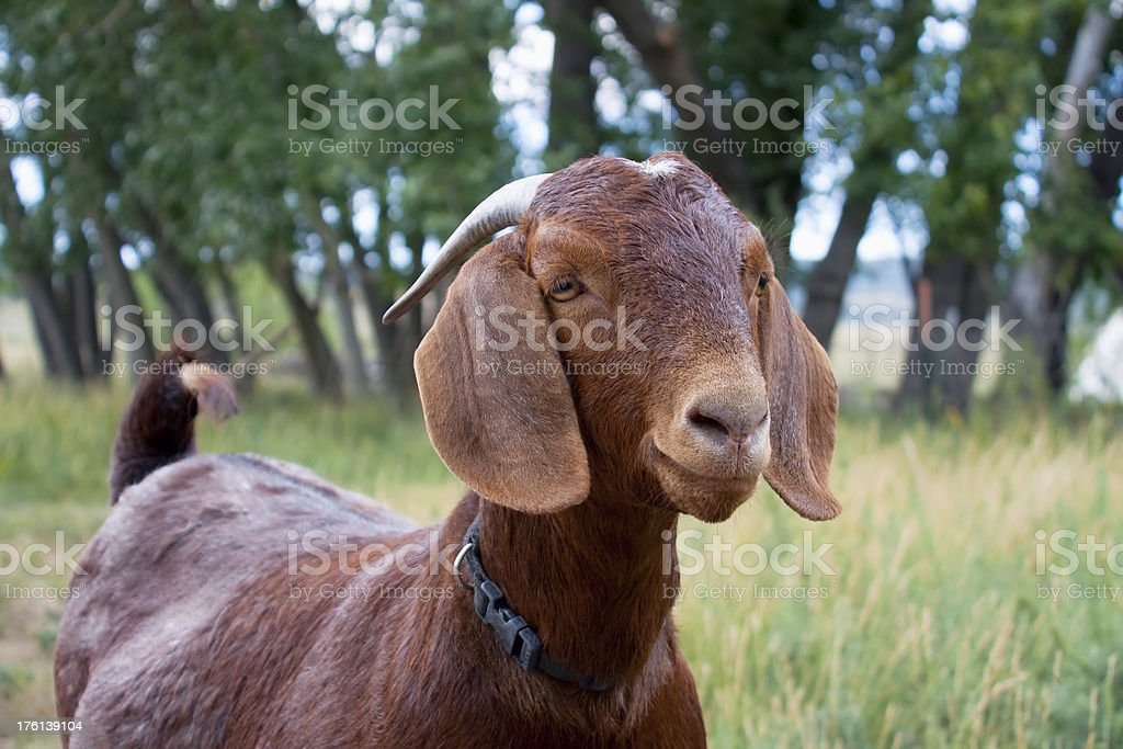 Brown Boer goat stock photo