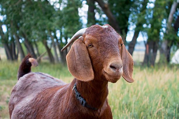 Brown Boer goat stock photo
