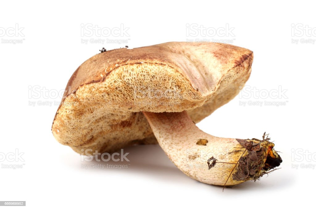 Brown boletus mushroom stock photo
