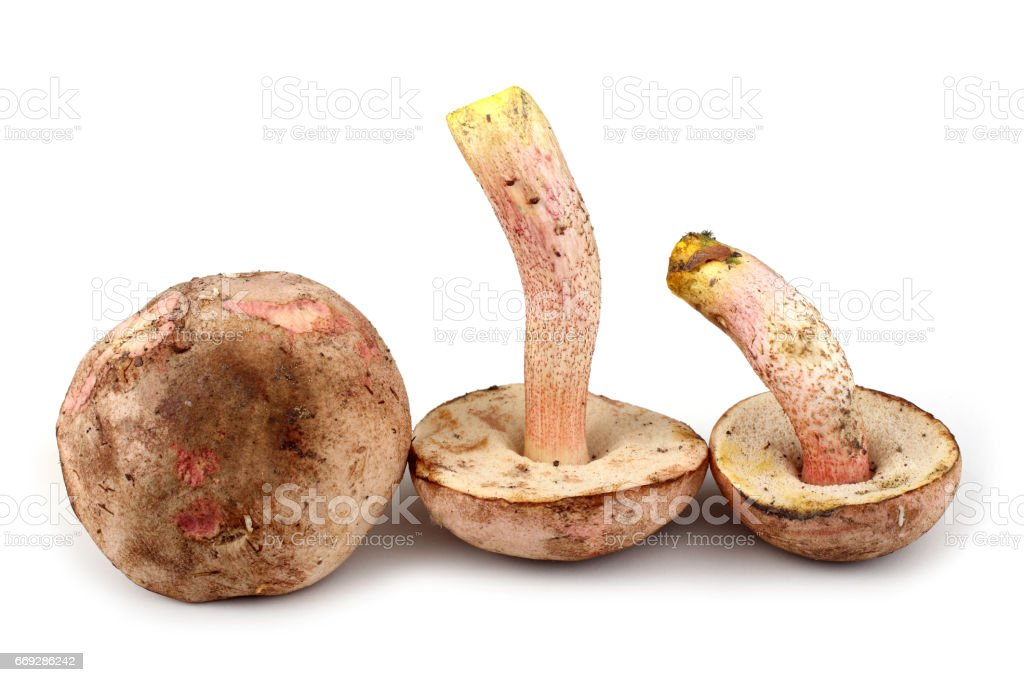 Brown boletus mushrooms stock photo