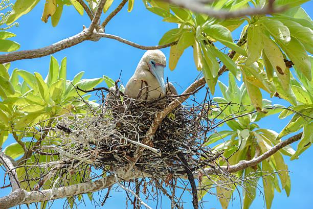 brown booby, exotic bird - northern gannet stockfoto's en -beelden