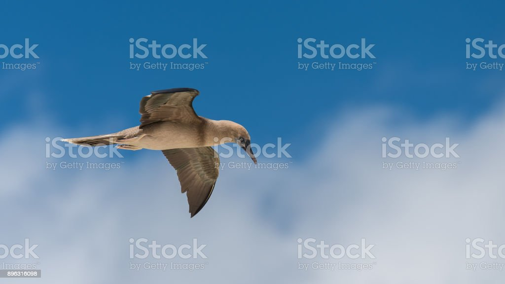 Brown booby, Sula leucogaster stock photo
