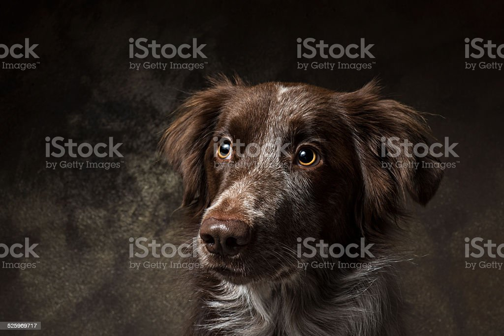 Brown border collie looking left stock photo