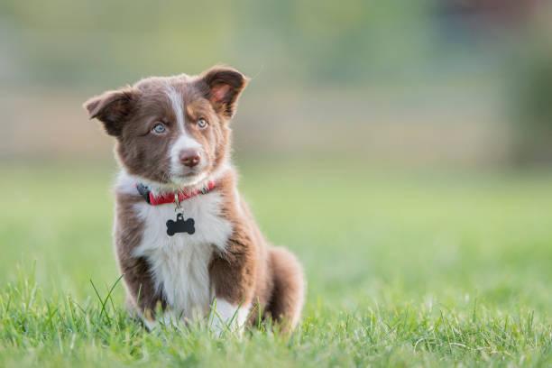 Cachorro Border Collie marrón - foto de stock