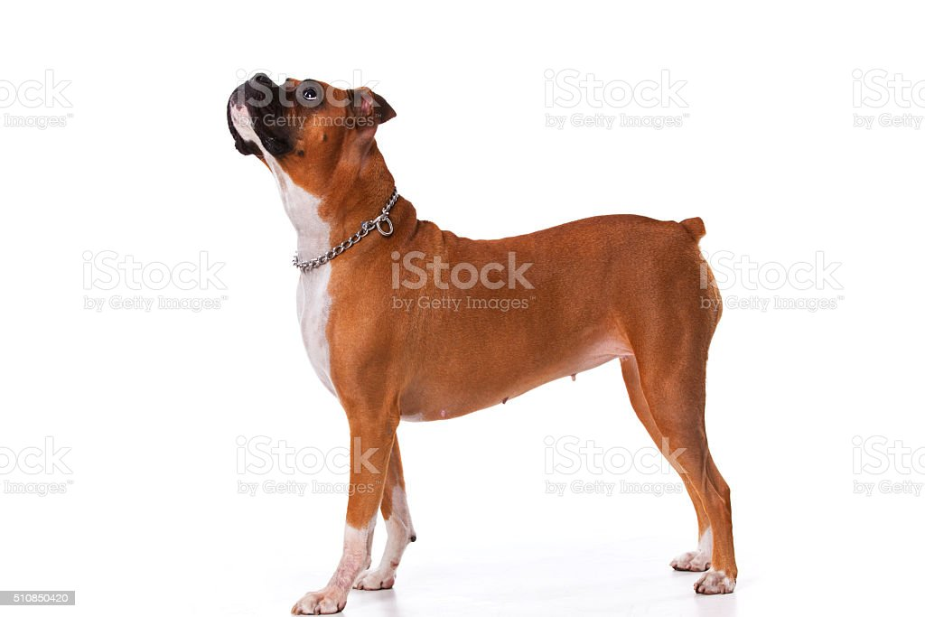 Brown boxer dog stock photo