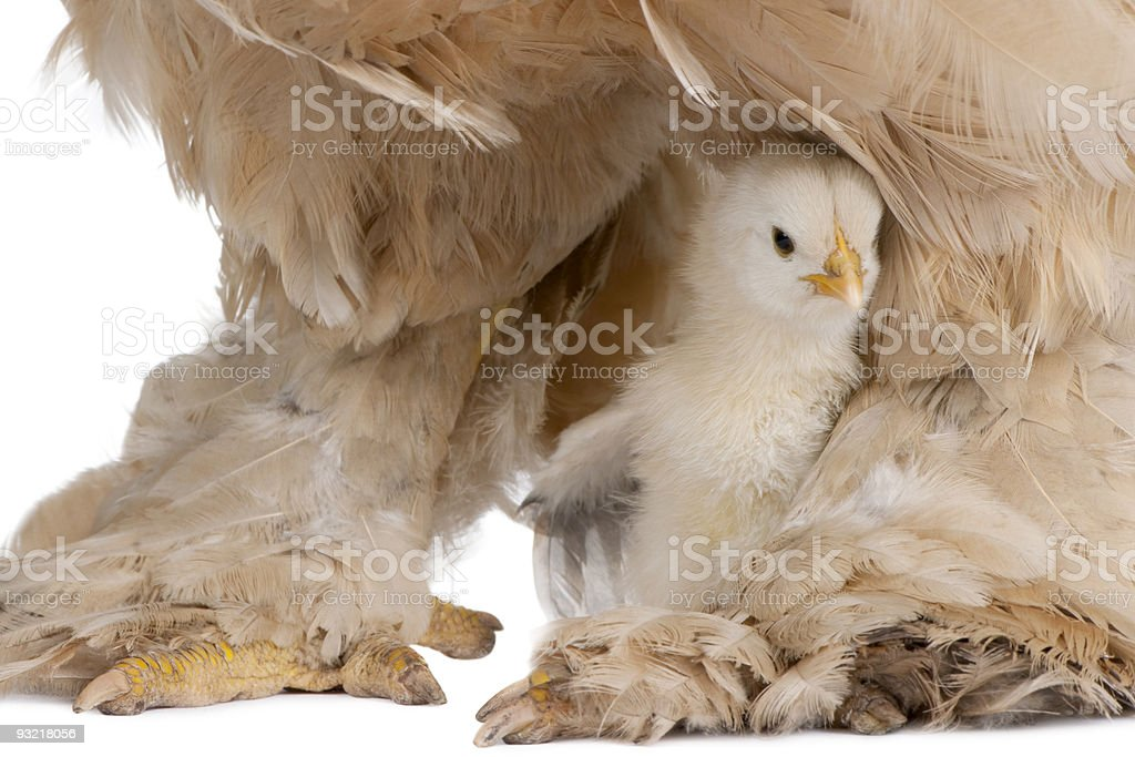 Brown Brahma Hen and her chick royalty-free stock photo