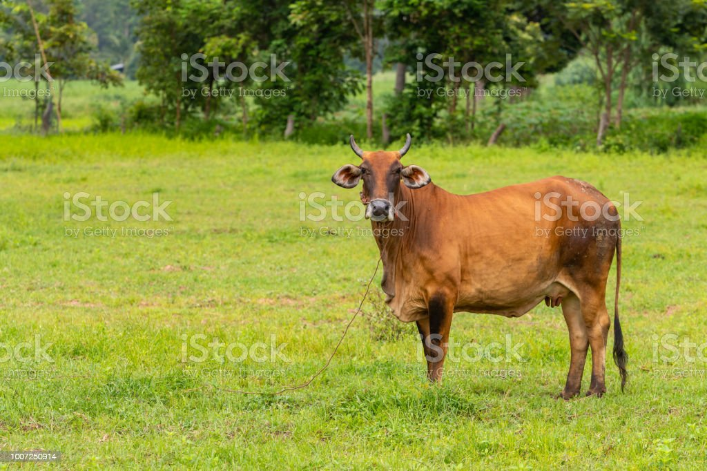 A brown brahman cow curiously looking at the camera stock photo