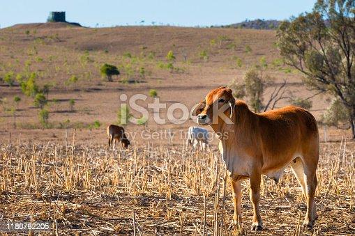 Brown Brahman Cross in a field.