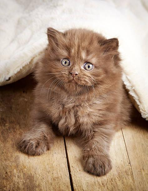 Brown british longhair kitten picture id545782076?b=1&k=6&m=545782076&s=612x612&w=0&h=odgp1rlapkyiinqeyslaeitutteaq0vlvz5spkk3npc=