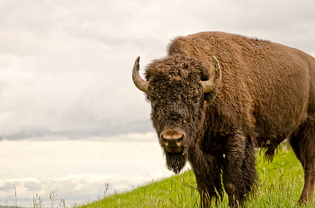 Brown buffalo in green grass bildbanksfoto