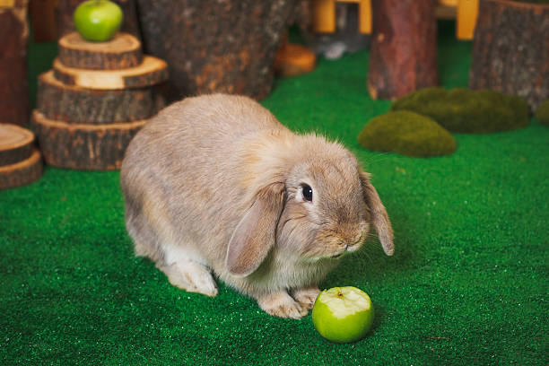 Brown bunny eating apple picture id505846510?b=1&k=6&m=505846510&s=612x612&w=0&h=iu7 6hufv1lremogjj4p2qyapemqrhgkhldulvyu6co=