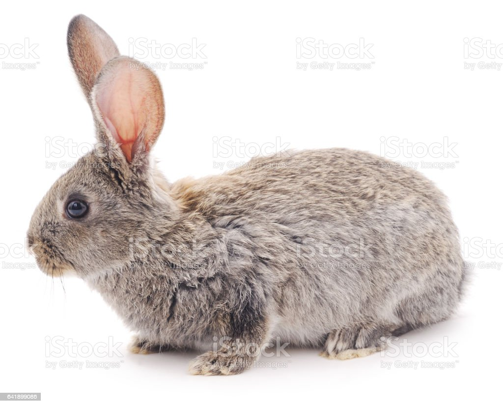 Brown bunny. stock photo