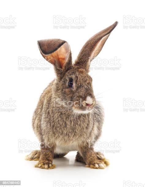 Brown bunny picture id664288440?b=1&k=6&m=664288440&s=612x612&h=1txbff jgug9fxsaf0bpcuugbvkq450ul8eunr6no g=