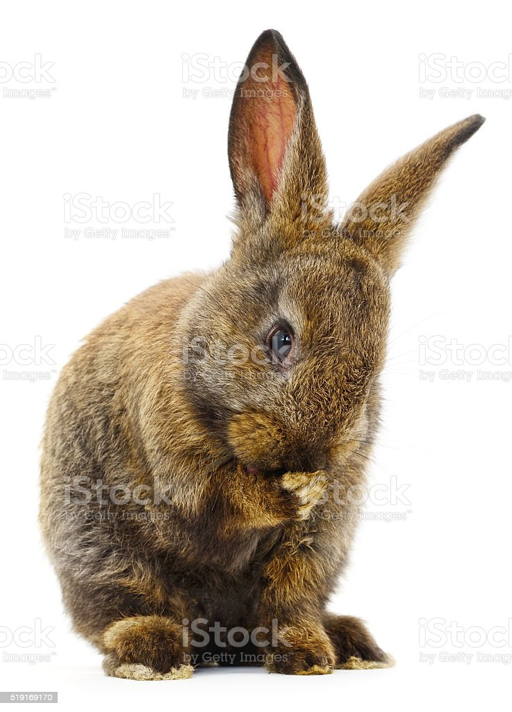 Brown bunny rabbit. stock photo