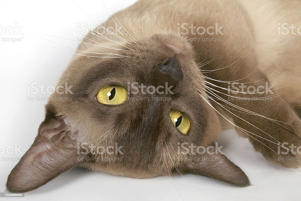 Brown burmese cat with yellow eyes laying funny upsidedown royalty-free stock photo