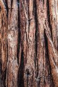Bark of Sequoia tree