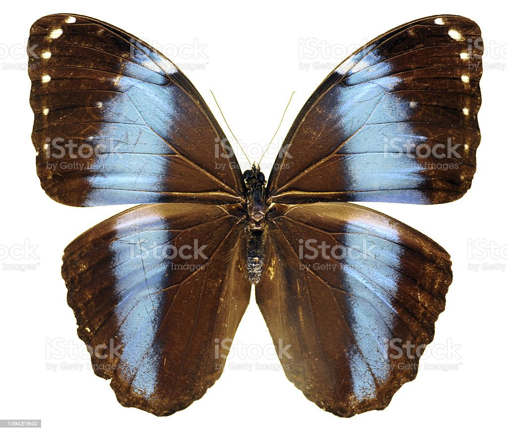 Brown Butterfly - Large royalty-free stock photo