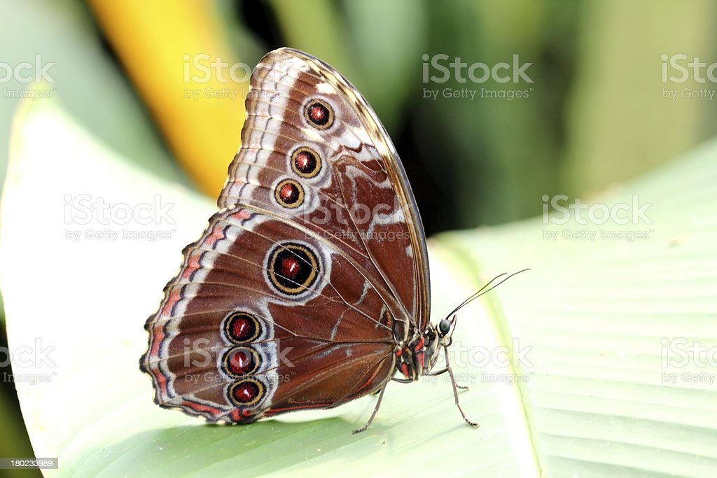 Brown Butterfly on Leaf, Czech republic royalty-free stock photo