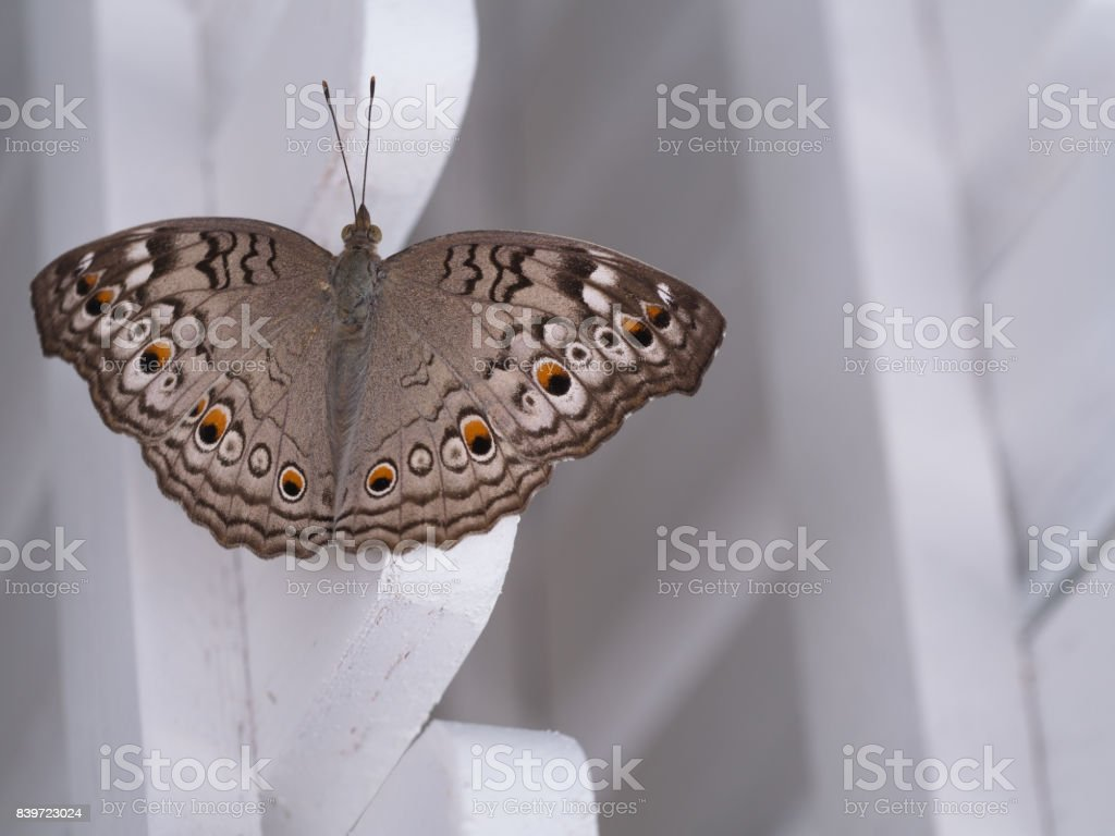 Brown Butterfly Percher on a Fences stock photo