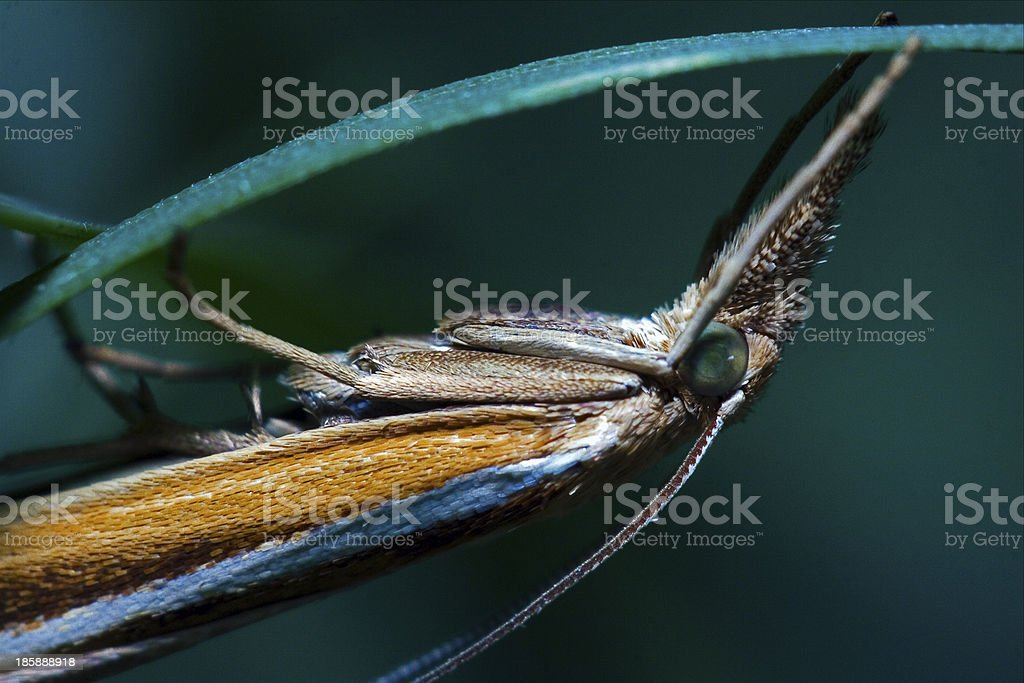 brown  butterfly trichoptera on a green leaf stock photo