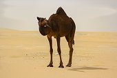 A brown camel in Arabian desert, with a piece of herb in its mouth.