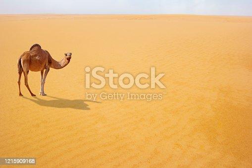 Brown camel in desert dunes, Image
