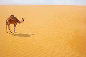 istock Brown camel in desert dunes 1215909168