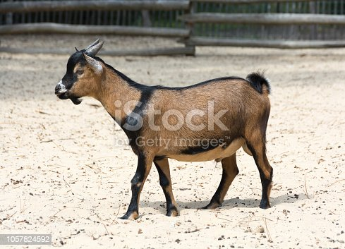 Brown cameroon dwarf goat standing on the sand. Side view