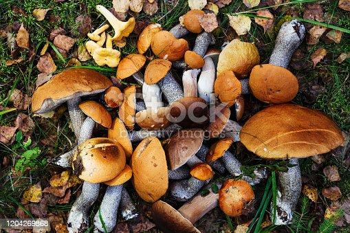 Brown Cap Boletus (Leccinum versipelle) and Boletus Edulis (Porcini). Fresh forest mushrooms on the natural forest background.