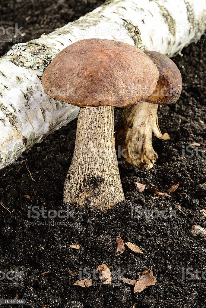 Brown cap boletus. Grow near the birch. Forest mushroom. stock photo