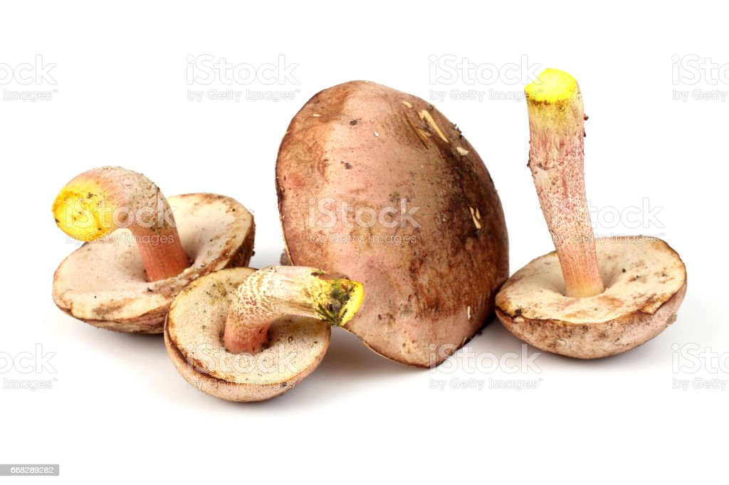 Brown cap boletus stock photo