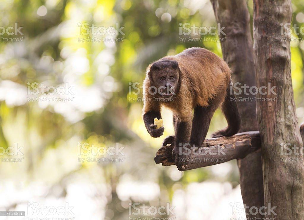 Brown Capuchin stock photo
