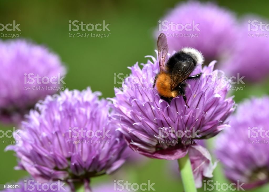 Brown Carder Bee stock photo