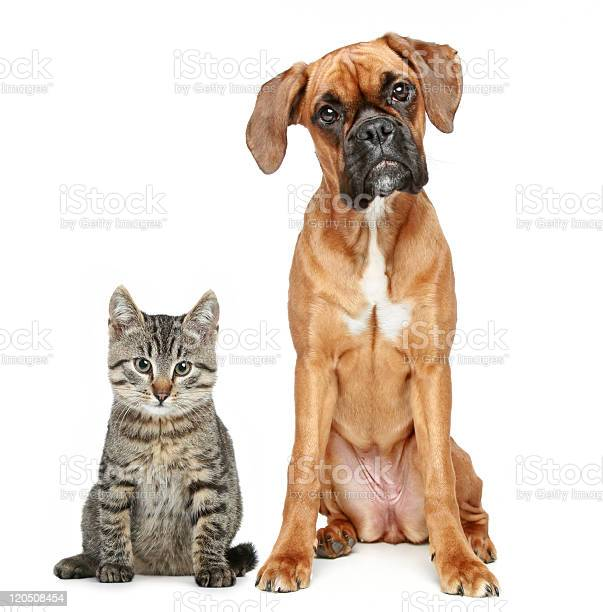 Brown cat and dog boxer breed picture id120508454?b=1&k=6&m=120508454&s=612x612&h=05vsw97lztchrne4dbhiipbsztenxobgnj ari9pbtm=